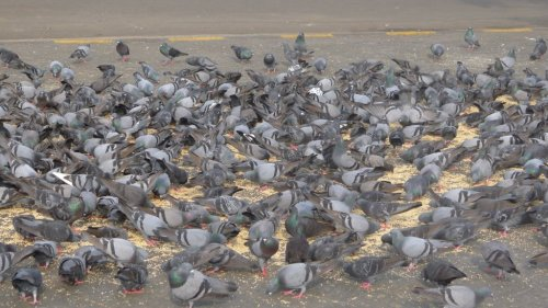 Pigeons in front of the Taj Hotel in Mumbai, India