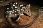 Northern Quoll. Image sourced from Australianwildlife.org