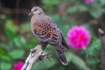 oriental-turtle-dove-streptopelia-orientalis-by-nikhil
