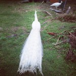 White peacock in Bayview by Tim Berriman