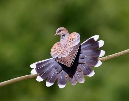 Turtle Dove. Photograph by Zahoor Salmi
