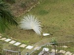 White peacocks in Bayview by Tim Berriman