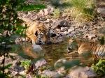 Ranthambore Tigers photograph by Jeannette LloydJones