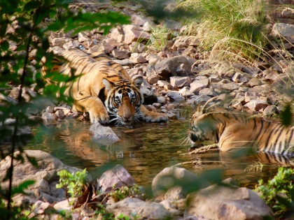 Ranthambore Tigers photograph by Jeannette Lloyd Jones