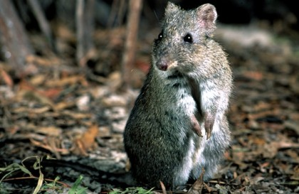 Gilbert's Potoroo are endangered in Australia especially after losing 90% of its habitats in recent fires. Photograph from Gilbert's Potoroo Action Group.
