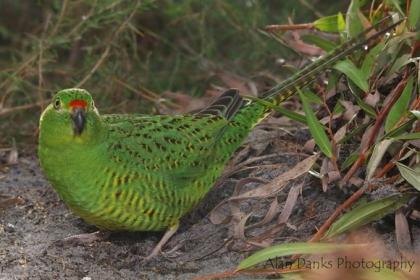 Western Ground Parrot