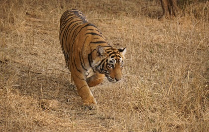 First sighting of tigress in Ranthambore. Copyright Avi Gupta, 2016.