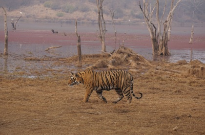 Second tiger sighting, Ranthambore. Copyright Avi Gupta, 2016.